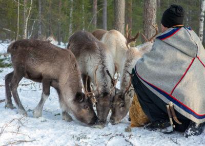 Renar & den samiska kulturen
