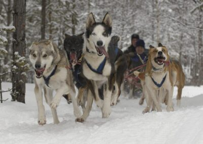 Hundspann Alaskan Husky